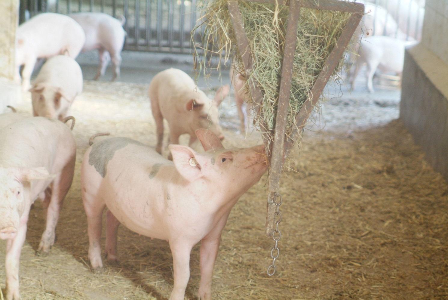Bio-Schwein Rauhfutter Spielzeug